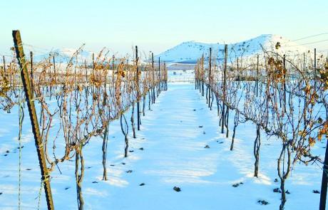 גורמה חצוף: יין בגולן