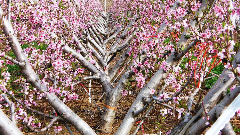 צורת גיזום העץ משפיעה על כמות ואיכות היבול