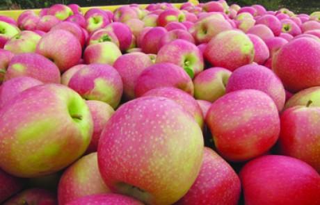 חקלאות בגולן – הסתיים קטיף תפוח פינק ליידי