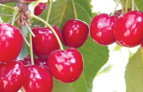 בראשית ברא: דובדבנים ותפוחים בגולן