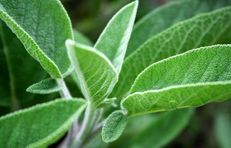 צמח המרווה לגוף ולנשמה