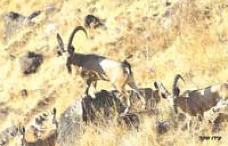 מצילים חיות בר בגולן