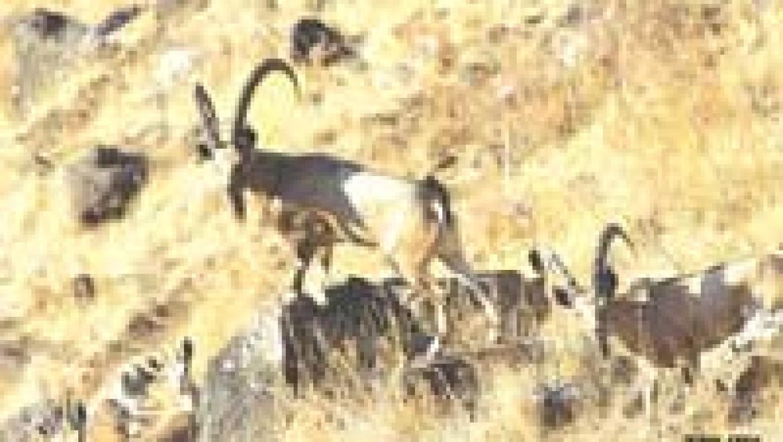 כבישי הגולן: מפגשים קטלניים בין חיה לאדם
